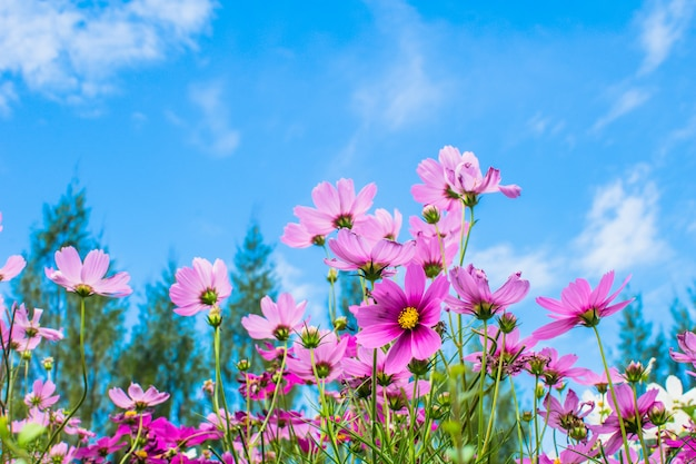 Fleur rose qui fleurit dans le champ qui fleurit dans le jardin Photo Premium