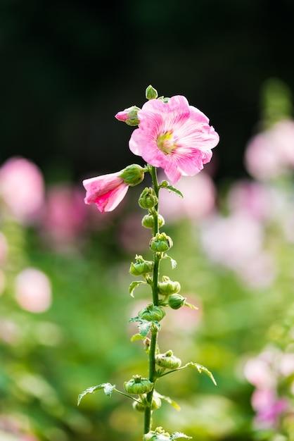 Fleur de rose trémière rose et blanche Photo Premium