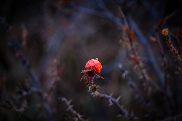 Fleur Rouge Sur Une épaisse Branche Sèche Avec Des épines Photo gratuit