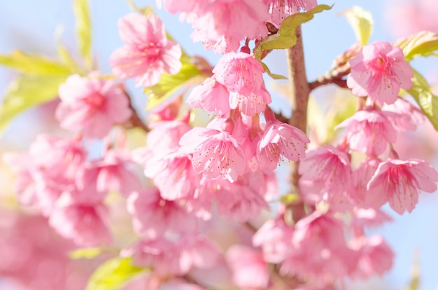 Fleur sakura Photo Premium