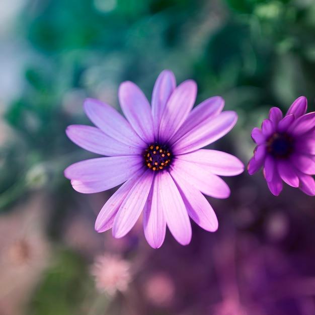 Image fleur violette gratuite - Image fleur violette gratuite ...