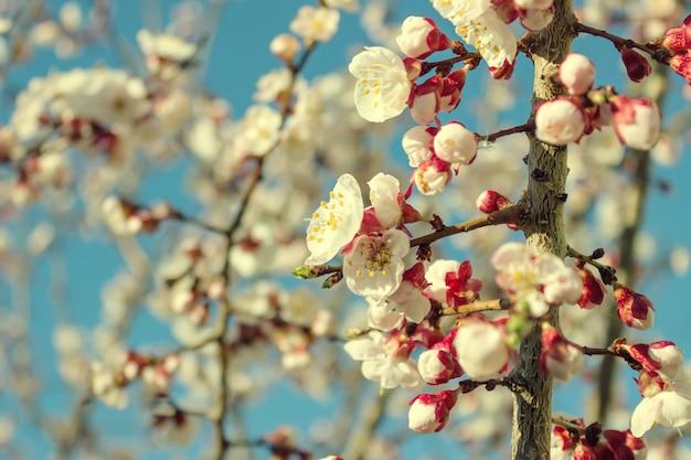Fleurs d'amandier Photo Premium