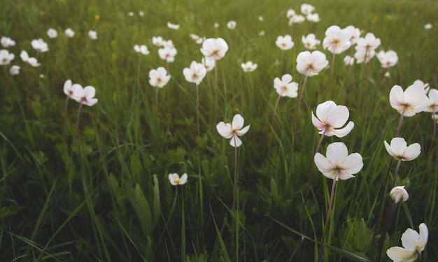 Fleurs D'anémone Sauvage Dans Le Domaine. Photo Premium