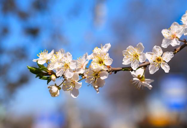 Fleurs D'arbre Blanc Au Printemps. Fleurs De Cerisier. Fermer. Mise Au Point Sélective. Photo Premium