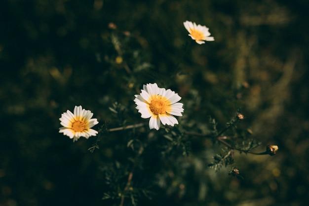 Fleurs blanches avec bourgeon au printemps Photo gratuit