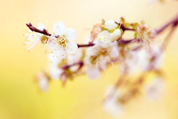 Fleurs blanches des cerisiers Photo Premium