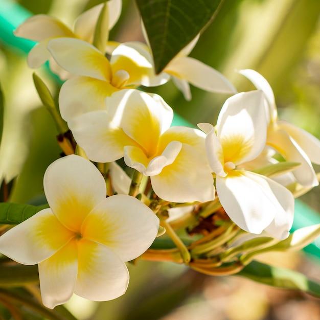 Fleurs Blanches Tropicales Photo gratuit