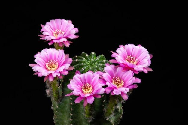 Fleurs de cactus en fleurs couleur de rose hybride d'echinopsis Photo Premium
