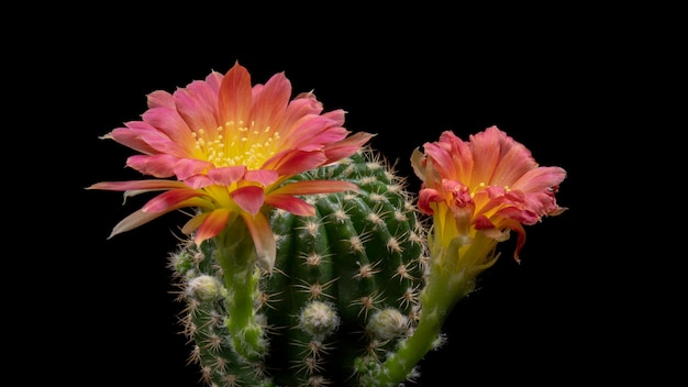 Fleurs de cactus en fleurs lobivia couleur bicolore hybride Photo Premium
