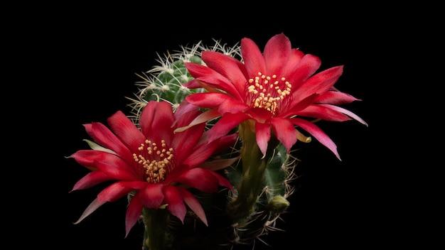 Fleurs de cactus en fleurs lobivia hybrid red color Photo Premium