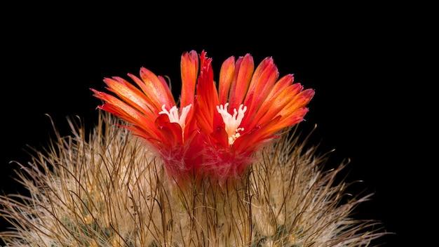 Fleurs de cactus en fleurs parodia herzogiana (microsperma) Photo Premium
