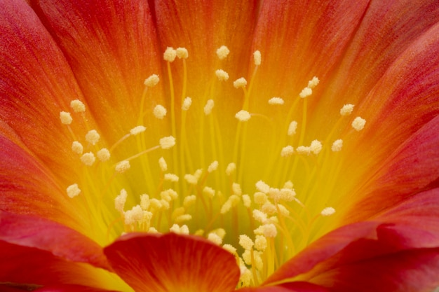 Fleurs de cactus en fleurs plein cadre couleur jaune-rouge Photo Premium