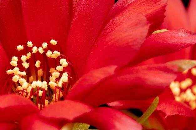 Fleurs de cactus en fleurs, plein cadre, couleur rouge Photo Premium