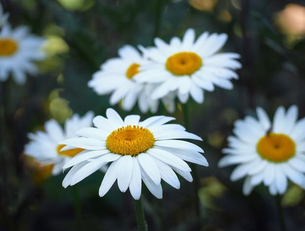 Fleurs De Camomille Dans Le Pré Photo Premium