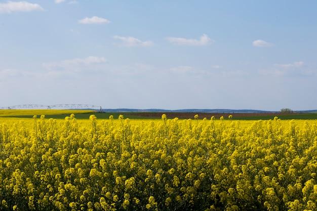Fleurs De Canola Photo Premium