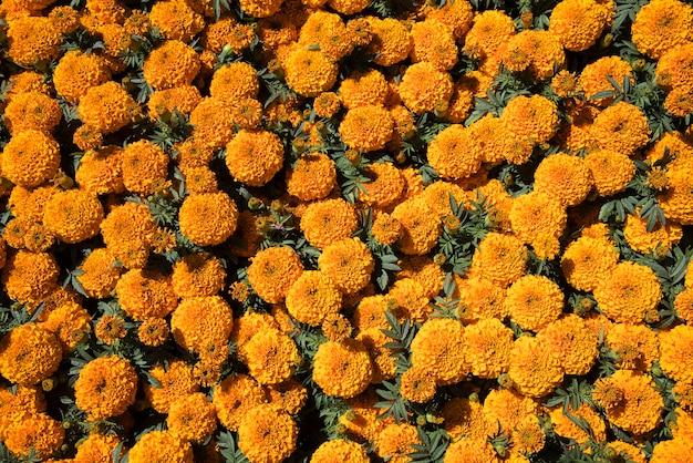 Fleurs De Cempasuchil Photo Premium