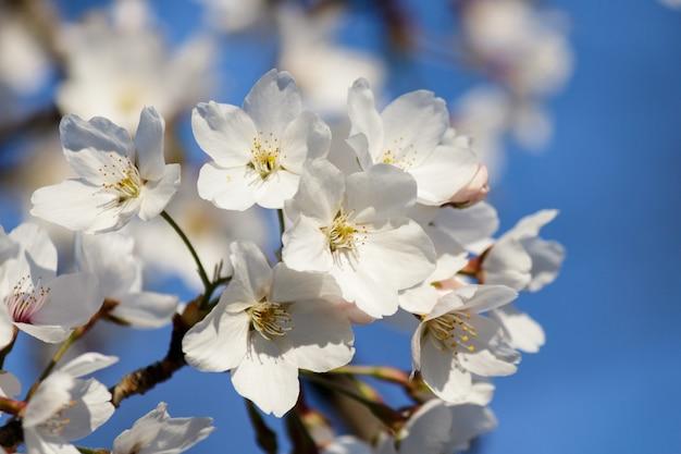 Fleurs De Cerisier Blanc Qui Fleurit Sur Un Arbre Avec Un Arrière-plan Flou Au Printemps Photo gratuit