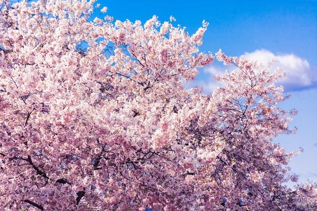 Fleurs De Cerisier Nationales Photo gratuit