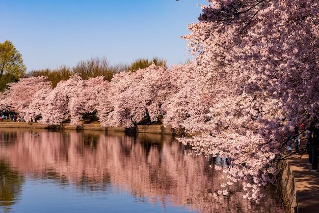 Fleurs De Cerisier Reflétées Dans Le Bassin De Marée Pendant Le Festival Des Cerisiers En Fleurs Photo gratuit