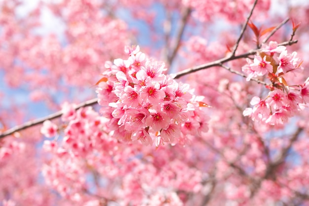 Fleurs de cerisier sauvages de l'himalaya au printemps, fleur de sakura rose pour le fond Photo Premium