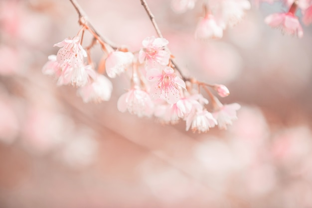 Fleurs de cerisiers en fleurs, fleurs de sakura en style vintage fond rose Photo Premium