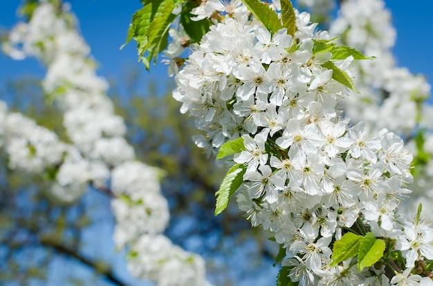 Fleurs des cerisiers Photo Premium