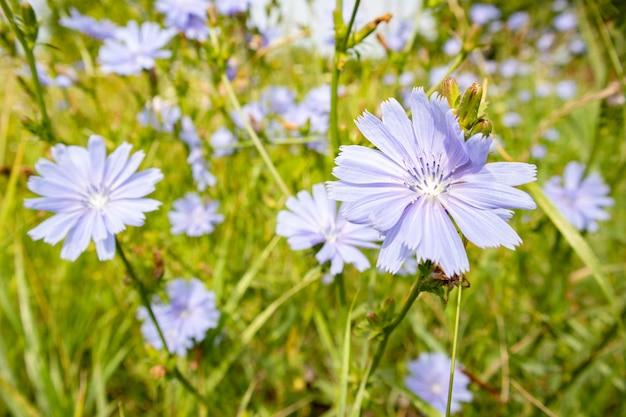 Fleurs De Chicorée Bleue Sur Un Champ Photo Premium