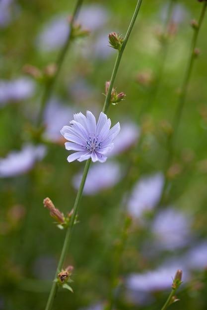 Fleurs De Chicorée Sur Le Pré Photo Premium