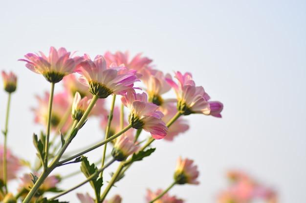 Fleurs de chrysanthème avec un arrière-plan flou Photo Premium
