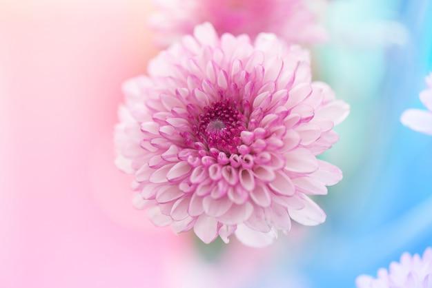Fleurs de chrysanthème blanc rose abstrait pastel Photo Premium