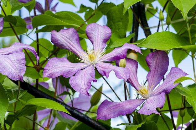 Fleurs De Clématite Lilas Sur Fond De Buisson Vert. Photo Premium