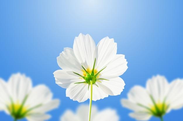 Fleurs de cosmos blanc sur un fond de ciel bleu. Photo Premium