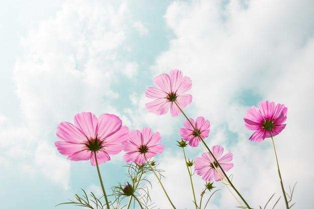 Fleurs de cosmos en fleurs dans le jardin avec ciel bleu et soleil. Photo Premium