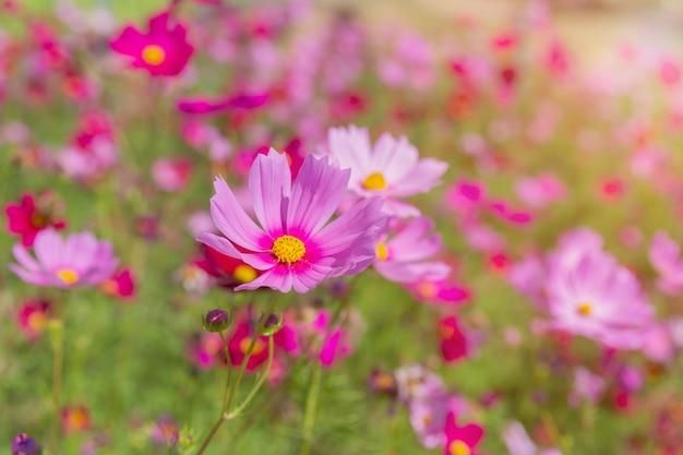 Fleurs de cosmos magnifiques en fleurs dans le jardin Photo Premium