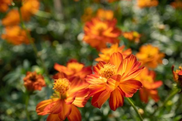 Fleurs cosmos orange dans le jardin avec arrière-plan flou Photo Premium