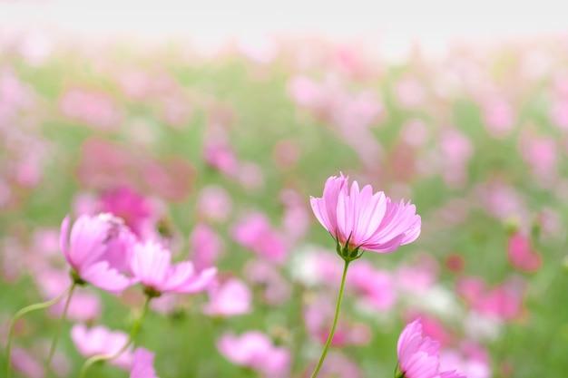Fleurs de cosmos roses avec dans le champ naturel de cosmos. concept de fraîcheur et de fond. Photo Premium