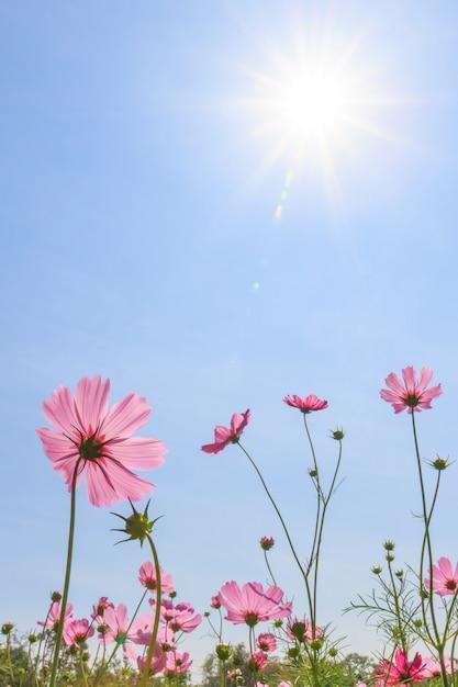 Fleurs de cosmos Photo Premium