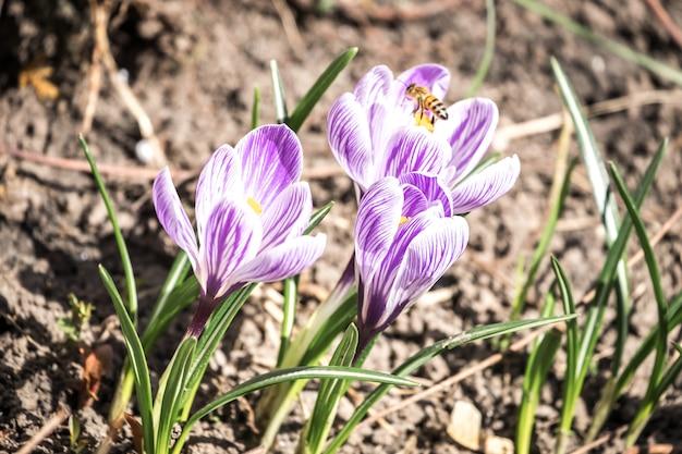 Fleurs De Crocus Sur Le Parterre De Fleurs Photo Premium