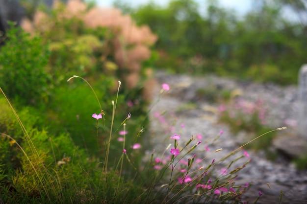 Fleurs de dianthus Photo Premium