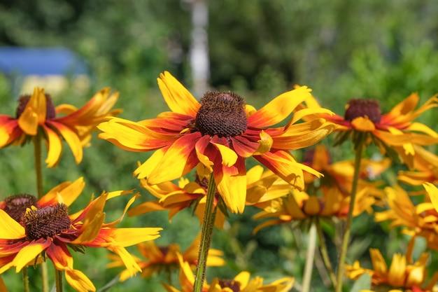 Fleurs d'été jaune bouchent Photo Premium
