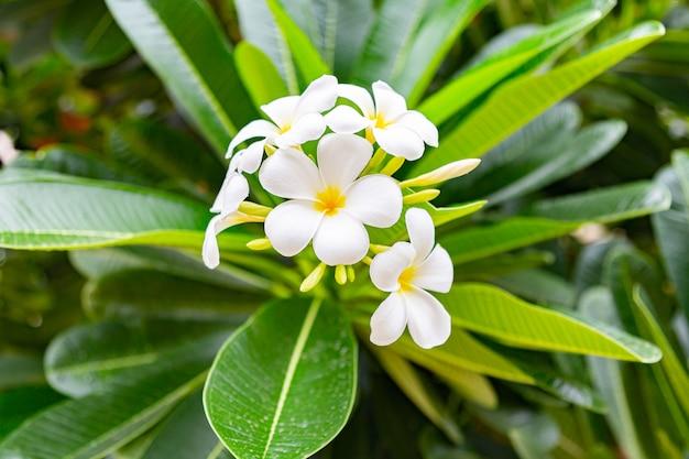 Fleurs de frangipanier fermer belle plumeria. Photo Premium