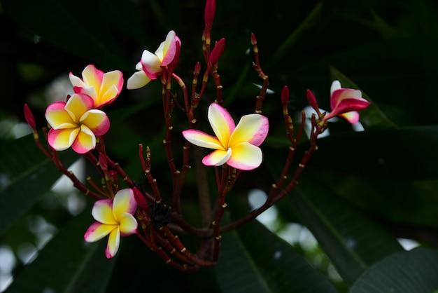 Fleurs de frangipanier roses blanches et jaunes avec des feuilles en arrière-plan. Photo Premium