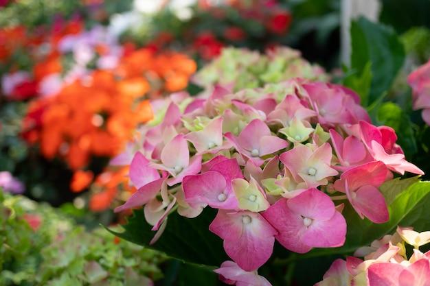 Fleurs de gerbera colorées dans le jardin Photo Premium