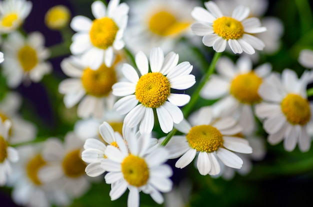 Fleurs à Hamomile Photo Premium