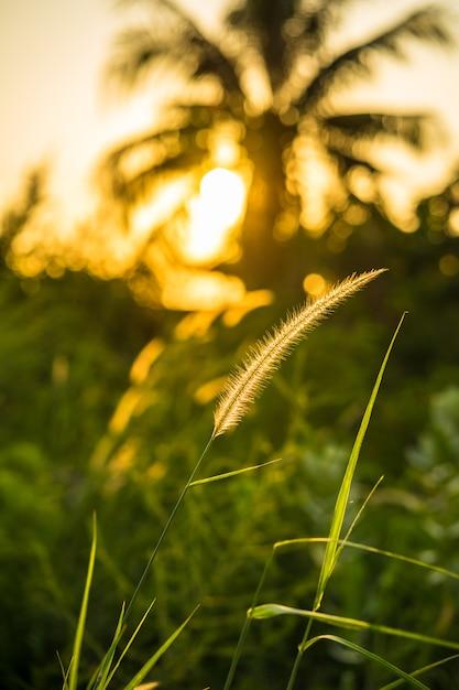 Les Fleurs D'herbe Reflètent La Lumière Du Soleil Au Coucher Du Soleil Photo Premium