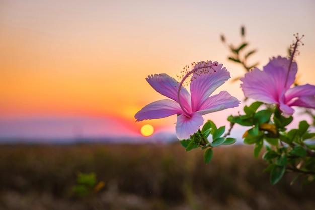Fleurs D'hibiscus Le Soir Photo Premium