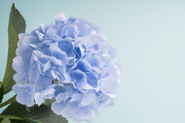 Fleurs d'hortensias bleus sur fond Photo gratuit