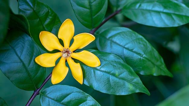Fleurs jaune vif sur un fond vert laisse dans le jardin. Photo Premium