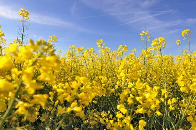 Fleurs jaunes de colza Photo Premium