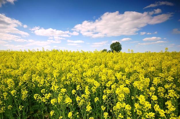 Fleurs jaunes dans un champ avec des nuages Photo gratuit